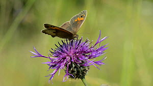 Slow motion close up view of a Meadow brown butterfly (Maniola jurtina) nectaring on a Greater knapweed flower (Centaurea scabiosa) and flying off, chalk grassland meadow Wiltshire, England, UK, July. - Nick Upton