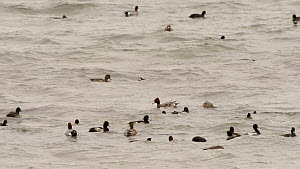 Mixed flock of Wigeon (Anas penelope), Coots (Fulica atra), Tufted duck (Aythya fuligula) and Gadwall (Anas strepera) dabbling, diving and competing aggressively by pecking one another, Rutland Water,... - Nick Upton