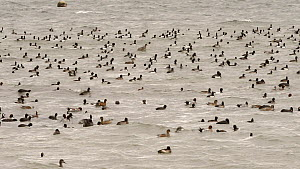 Panning shot of a mixed flock of Coots (Fulica atra), Wigeon (Anas penelope), Tufted duck (Aythya fuligula) and Gadwall (Anas strepera) swimming, dabbling and diving, Rutland Water, Rutland, England,...  -  Nick Upton