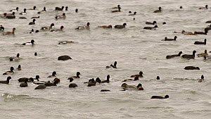 Slow motion clip of a mixed flock of Coots (Fulica atra), Wigeon (Anas penelope), Tufted duck (Aythya fuligula) and Gadwall (Anas strepera) swimming, dabbling and diving, Rutland Water, Rutland, Engla...  -  Nick Upton
