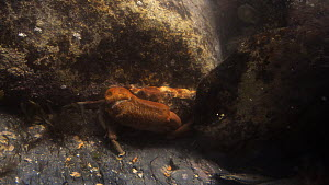 Montagu's crab (Xantho hydrophilus) moving behind a stone in a rockpool to hide in a rockpool low on the shore, near Falmouth, Cornwall, England, UK, September. - Nick Upton