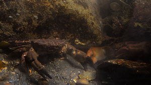 Two Montagu's crabs (Xantho hydrophilus) competing for a crevice to hide in within a rockpool, Cornwall, England, UK, September.  -  Nick Upton