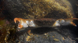 Montagu's crab (Xantho hydrophilus) in a rockpool, showing threat posture with open claws raised, walks out of frame, Cornwall, England, UK, September. - Nick Upton