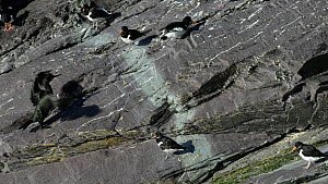 Slow motion clip of an Oystercatcher (Haematopus ostralegus) struggling to climb up  a slope at a coastal roost site as a Shag (Phalacrocorax aristotelis) approaches and flaps its wings, England, UK,... - Nick Upton