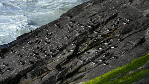 Oystercatchers (Haematopus ostralegus) resting and preening at a roost site, with a Shag (Phalacrocorax aristotelis) holding its wings out to dry next to them, Cornwall, England, UK, April. - Nick Upton