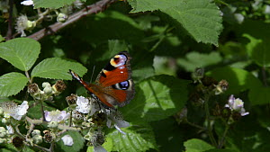 Close up view of a Peacock butterfly (Inachis io) nectaring on a Bramble flower (Rubus plicatus) before flying off, Lower Woods Gloucestershire Wildlife Trust reserve, Gloucestershire, England, UK, Ju... - Nick Upton