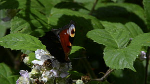 Close up view of a Peacock butterfly (Inachis io) nectaring on a Bramble flower (Rubus plicatus) on a woodland edge, Lower Woods Gloucestershire Wildlife Trust reserve, Gloucestershire, England, UK, J... - Nick Upton
