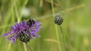 Red-tailed bumblebee (Bombus lapidarius) nectaring on a Greater knapweed flower (Centaurea scabiosa)  before taking off, with a female Thick-legged flower beetle (Oedemera nobilis) nearby, Wiltshire,... - Nick Upton