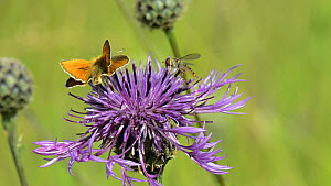 Small skipper (Thymelicus sylvetris) nectaring on a Greater knapweed flower (Centaurea scabiosa), with a Marmalade hoverfly (Episyrphus balteatus) landing briefly to feed on pollen next to it, Wiltshi... - Nick Upton