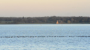 Wide angle view of a mixed flock of Tufted ducks (Aythya fuligula), Coots (Fulica atra) and Wigeon (Anas penelope), with Normanton church in the background, Rutland Water, Rutland, England, UK, Novemb...  -  Nick Upton