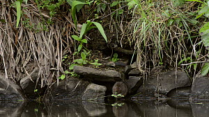 Water vole (Arvicola amphibius) climbing down to the shore of a large pond and eating grass flowers, near Bude, Cornwall, England, UK, June. - Nick Upton