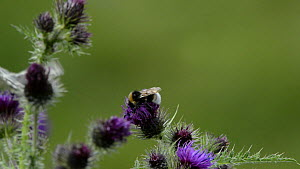 Slow motion close up view of a White-tailed bumblebee (Bombus lucorum) using its middle legs to fend off a Marbled white butterfly (Melanargia galathea) whilst nectaring on Creeping thistle flowers (C...  -  Nick Upton