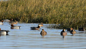 Small group of Wigeon (Anas penelope) swimming and dabbling in a saltmarsh creek at high tide, close to a flooded stand of Common cord grass (Spartina anglica), Somerset, England, UK, December.  -  Nick Upton