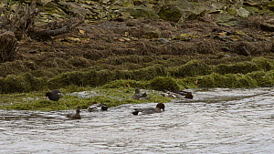 Slow motion view of a small group of Wigeon (Anas penelope) dabbling on a windy day, with a Moorhen (Gallinula chloropus) foraging nearby, Rutland Water, Rutland, England, UK, November.  -  Nick Upton