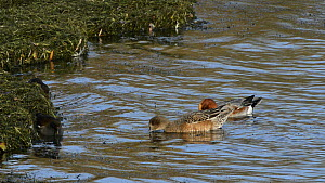 Pair of Wigeon (Anas penelope) dabbling at the margins of a large reservoir, with two Moorhens (Gallinula chloropus) foraging nearby, Rutland Water, Rutland, England, UK, November.  -  Nick Upton