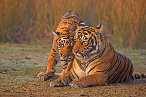 Bengal tiger (Panthera tigris tigris) female 'T19 Krishna' with 11 month cub, Ranthambore National Park, India.  -  Andy  Rouse