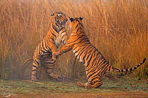 RF- Bengal tiger (Panthera tigris tigris) 11 month old cubs play fighting. Ranthambore National Park, India. (This image may be licensed either as rights managed or royalty free.)  -  Andy  Rouse
