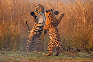 Bengal tiger (Panthera tigris tigris) 11 month old cubs play fighting, Ranthambhore National Park, India.  -  Andy  Rouse