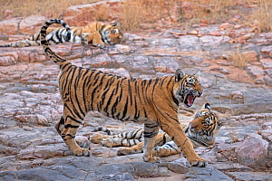 Bengal tiger (Panthera tigris tigris) 11 month cubs with mother 'T19 Krishna' in background, Ranthambhore National Park, India.  -  Andy  Rouse