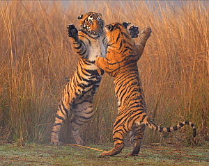Bengal tiger (Panthera tigris tigris) 11 month cubs play fighting, Ranthambhore National Park, India. - Andy  Rouse