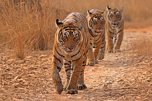 Bengal tiger (Panthera tigris tigris) female 'T19 Krishna' leading 11 month cubs, Ranthambhore National Park, India. - Andy  Rouse