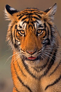 Bengal tiger (Panthera tigris tigris) 11 month cub, Ranthambhore National Park, India. - Andy  Rouse