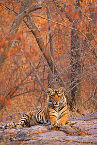 Bengal tiger (Panthera tigris tigris) 11 month cub in winter forest, Ranthambhore National Park, India.  -  Andy  Rouse