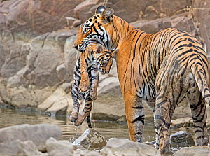 Bengal tiger (Panthera tigris tigris) female 'T19 Krishna' carrying 2 month cub, Ranthambhore National Park, India.  -  Andy  Rouse