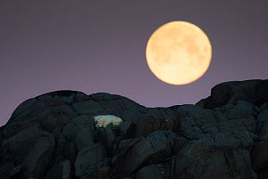 Polar bear (Ursus maritimus) stranded on island, with full moon above, north of Nordaustlandet, Svalbard, Norway, September. - Ole  Jorgen Liodden