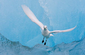 Ivory gull (Pagophila eburnea) flying near blue ice, Spitsbergen, Svalbard, Norway, July.  -  Ole  Jorgen Liodden
