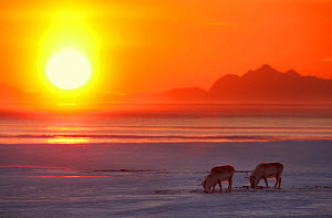 Svalbard reindeer (Rangifer tarandus platyrhyncus) feeding at sunset, Spitsbergen, Svalbard, Norway, April. - Ole  Jorgen Liodden