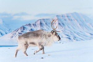 Svalbard reindeer (Rangifer tarandus platyrhynchus) walking across snowy ground, Spitsbergen, Svalbard, Norway, March.  -  Roy Mangersnes
