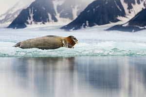 Bearded seal (Erignathus barbatus) resting on fjord ice, Liefdefjorden, Spitsbergen, Svalbard, Norway, July. - Roy Mangersnes