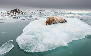 Bearded seal (Erignathus barbatus) hauled out on ice floe, Kongsfjorden, Spitsbergen, Svalbard, Norway, June. - Roy Mangersnes