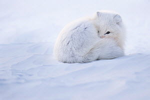 Arctic fox (Alopex lagopus) curled up in winter coat, Spitsbergen, Svalbard, Norway, April.  -  Roy Mangersnes