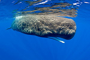 Sperm whale (Physeter macrocephalus) with mouth open, Dominica, Caribbean Sea, Atlantic Ocean. Vulnerable species. - Franco  Banfi