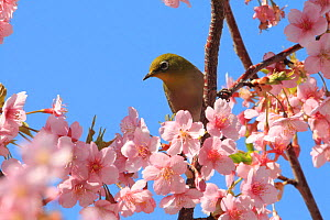 Japanese white eye (Zosterops japonicus) perched in Cherry blossom, Japan. March.  -  Aflo