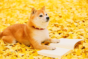 Shiba inu with book in a park  -  Aflo
