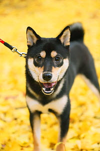 Shiba inu running in park with autumn leaves on ground. - Aflo