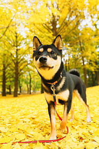 Shiba inu in park with autumn leaves on ground. - Aflo