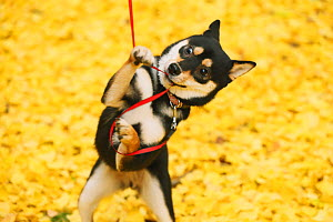 Shiba inu playing with lead park with autumn leaves on ground. - Aflo