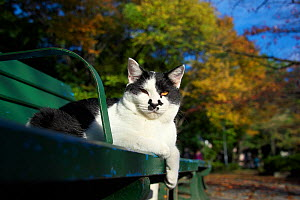Stray cat, with black and white face markings, sitting on bench, Aichi, Japan. - Aflo