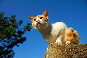 Stray cat, ginger tabby with white patches, Aichi, Japan. - Aflo