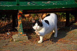 Stray Cat, black and white, pawing, Aichi, Japan. - Aflo