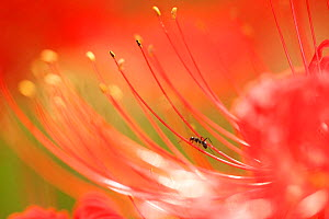 Ant (Formicidae) on Red spider lily, Tokyo, Japan. September.  -  Aflo