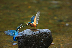 Common Kingfisher (Alcedo atthis) females squabbling, Tsurui,  Hokkaido, Japan. September. - Aflo