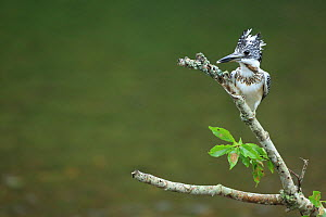 Crested Kingfisher (Megaceryle lugubris) on branch over river, Tsurui, Hokkaido, Japan. September. - Aflo