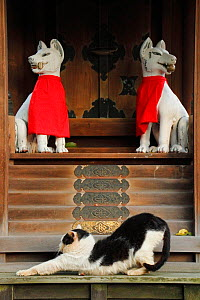 Stray cat, black and white, stretching in front of shrine with Foo Dogs / Chinese Guardian Lions, Aichi, Japan. - Aflo