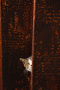 Stray cat tabby with white patches peering past wall, Aichi, Japan. - Aflo