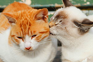 Stray cats, white point cat grooming ginger and white patched tabby, Nagoya, Japan. - Aflo